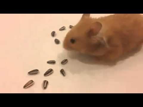 天竺鼠的排圖案,卡挖衣!!!