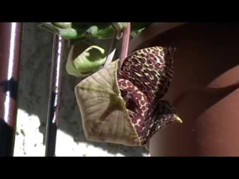 stapelia variegata: fioritura strabiliante!