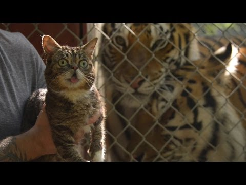Lil Bub, Nala Cat and Hamilton the Hipster Cat unite for International Tiger Day video