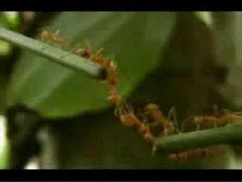 Hormigas Rojas - Trabajo en Equipo