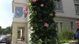 #1293 Die grösste Mandevilla-Dipladenia der Welt