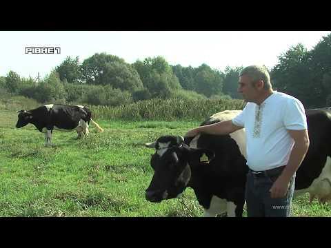 Людей на Рівненщині заохочують гривнею заводити корів [ВІДЕО]