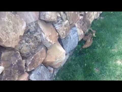 una famiglia di furetti scavalca un muro ma l'ultimo rimane indietro e..