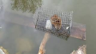 Muskrat Trapped
