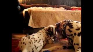 One of the cutest n sweetest dalmatians Allie playing with her family. Unfortunately she passed a week after this video due to fluid in her lungs and we really dont know how or why. We miss her and will never forget her n the joy she brought all the people she shared her life with!