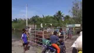 56 10 18 ปราจีนบุรี วัวพันธุ์แอฟริกาตกใจ กลัวน้ำท่วมจมน้ำทั้งฝูง
