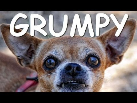 Funny Chihuahua Dogs Getting Angry Compilation 2014 [NEW]