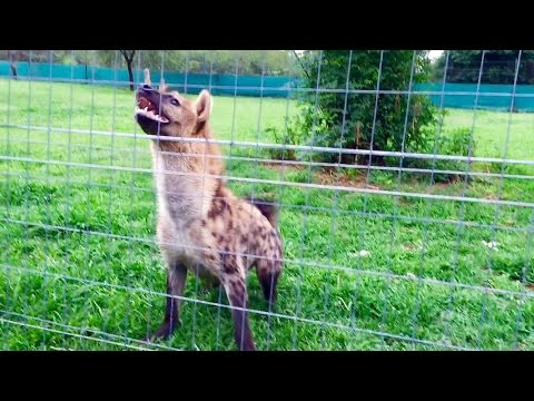 "Roxy The Hyena ""laugh"" Loudly In Front Of Her Meal"