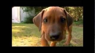 Dogs 101 - Rhodesian Ridgeback