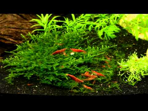 Red Cherry Shrimp Colony