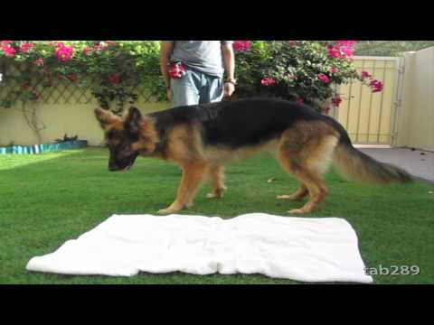 dog training - This lays the foundation for a lot of different things in dog training. You can use this when guests come over and you need the dog to wait politely before t...
