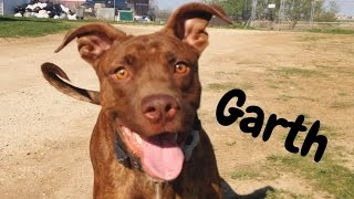 Garth - American Staffordshire Terrier / Chocolate Labrador Retriever / Mixed (short coat) Dog For Adoption