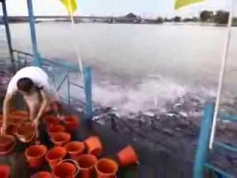 Como alimentar a miles de peces en segundos