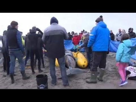 Εθελοντές σώζουν μαυροδέλφινο