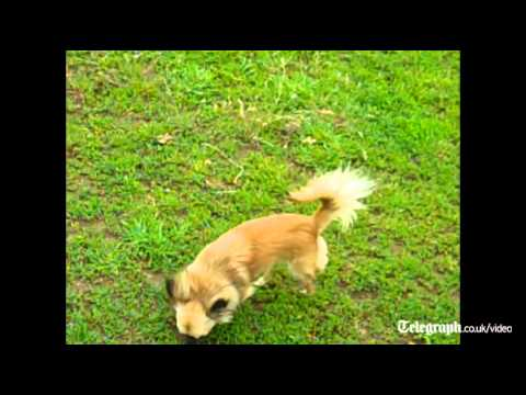 Tiny Chihuahua shows talent for herding sheep