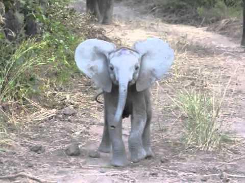Vérszomjas elefánt támadás