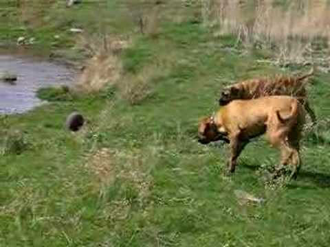 Two 130 Pound Bull Mastiffs On the Attack