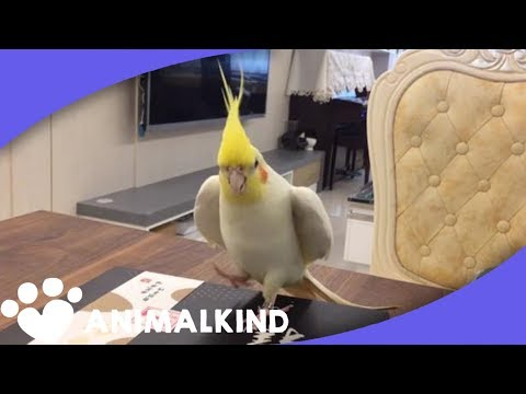 This Cockatiel Dances Better Than All Of Us