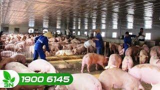 Nông nghiệp | Dịch tả lợn châu Phi: Cả nước cùng vào cuộc phòng chống