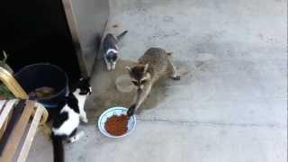 Raccoon Stealing Cats' Food