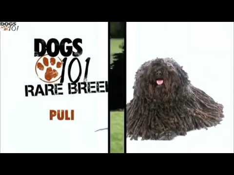 Video DOGS 101 - Puli (ENG) download in MP3, 3GP, MP4, WEBM, AVI, FLV January 2017