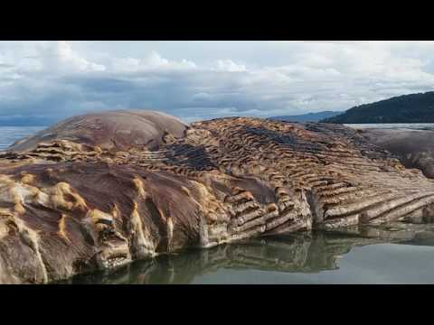 Ikan besar terdampar dihulung, desa iha. Maluku