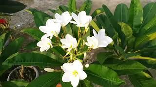 Bangladeshi flower Kath golap