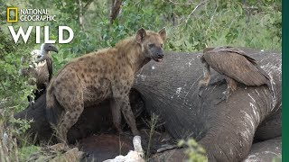 Video Here's What Happens After an Elephant Dies | Nat Geo Wild MP3, 3GP, MP4, WEBM, AVI, FLV Desember 2018