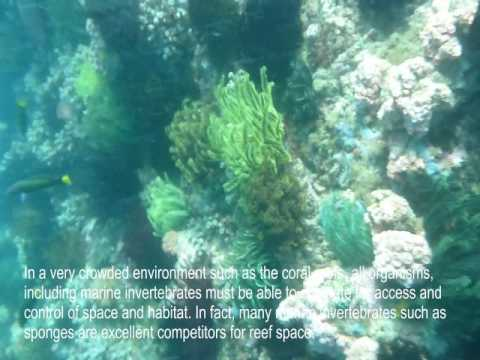 Invertebrates account for the vast majority of animal species found in coral reefs (Bellwood, et al. 2006. Global Change Biology. 12:1587). The most recent estimates indicate that there are at least 165,000 described invertebrate species associated with coral reefs (Stella, J. 2011. Coral Reefs.25, 609). It is possible that invertebrate species outnumber all known protistans, algae, fungi, and fish species combined (Reaka-Kudla, M. 1997. Biodiversity II. Joseph Henry Press, Washington, D.C. pp.83-108). However, the true diversity of coral reef invertebrates will remain unknown until more systematic studies on marine invertebrates are conducted (Stella. 2011. Coral Reefs 25, 609).