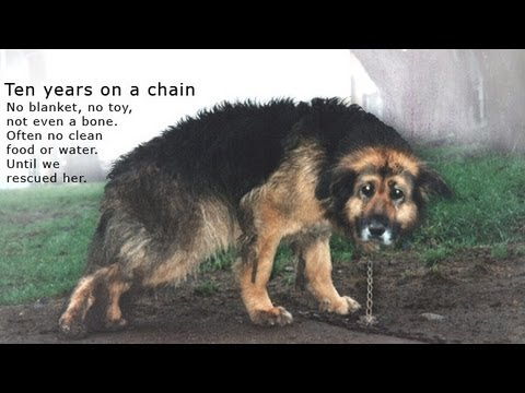 Dog chained for 10 years gets rescued