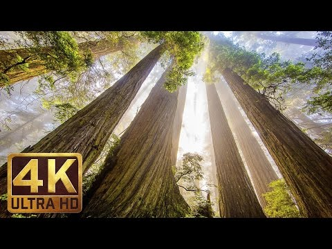The Tallest Trees on Earth - 4K Nature Documentary Film | Redwood National and State Parks