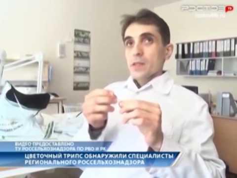Цветочный трипс обнаружили специалисты Россельхознадзора в Ростовской области