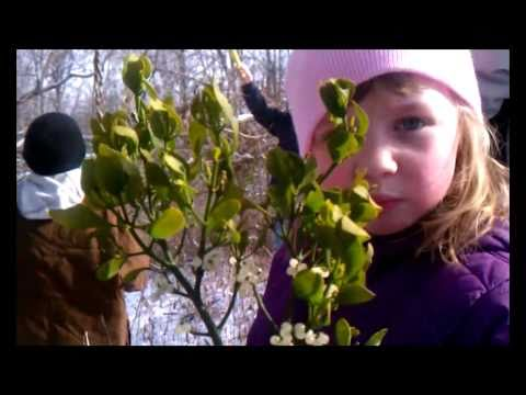 how to harvest mistletoe