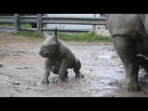 Söt liten noshörningsunge rullar sig i leran