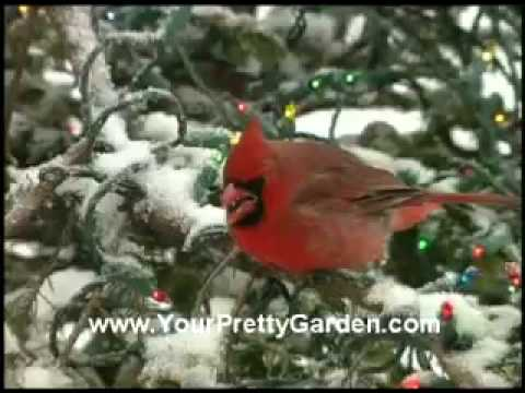 Bird Man Mel – Attractin Cardinals