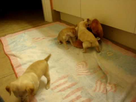 Chihuahua puppies by Dolce and Chico Pt. 2