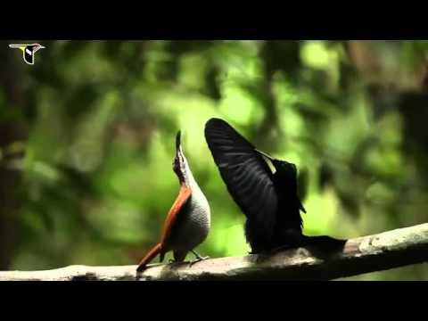 Muhteşem Cennet Kuşları
