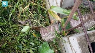 Read More: http://www.nollygrio.comFacebook: https://www.facebook.com/nollygrionews/A Python was found by a man named Johnbull Cleopas, on his site in Yenagoa, Bayelsa State. He found the dead snake trapped in his fence. Apparently it swallowed a big animal and while trying to slither away, got caught up in a fence, struggled a lot and eventually died on the spot. It was slit open and later burnt by the owner of the site.