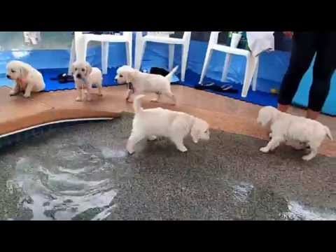 retriever puppies go for their first swim