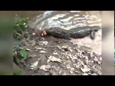 """[Clip] - Xem cá sấu bị lươn điện """"hạ gục"""" trong chốc lát"""