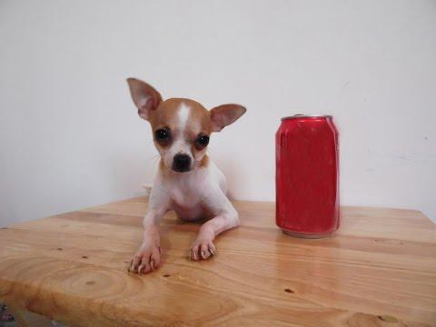 Cachorros Chihuahua en Venta – Bolsillo – Mini Toy – Tacita