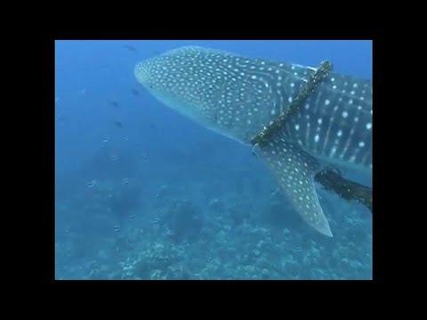 Χαβάη: Διάσωση φάλαινας από τα δίχτυα φαλαινοθήρων