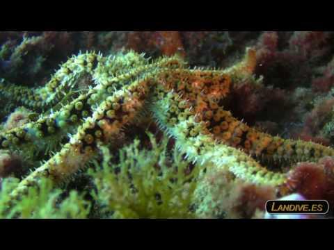 L A N D I V E . E S - sardina del norte - VideoSub - Canarias