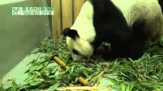 Гигантская панда из тайского зоопарка стала мамой