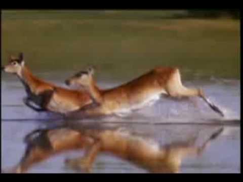 León de agua, únicos en el Delta Okavango, Botsvana