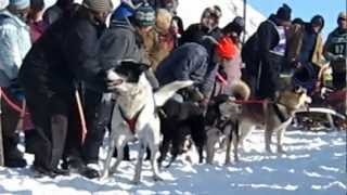 Sled Dog Is Way Too Excited To Start His Race