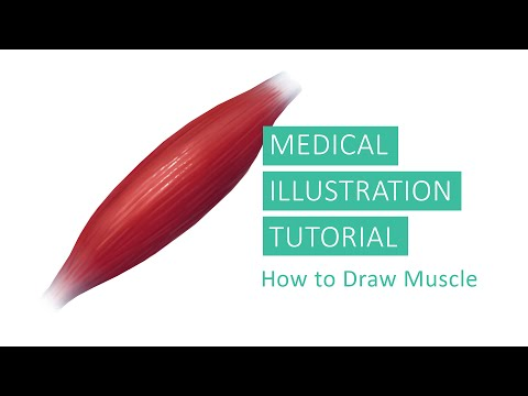 Medical Illustration Tutorial How To Draw Muscles In Adobe Photoshop