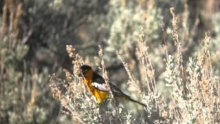 Bullock's Oriel (Male) Video