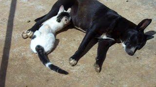 animale cainele alapteaza o pisica