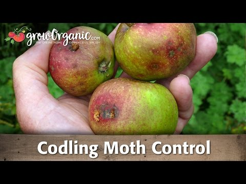 Codling moth—How to keep the worms away organically